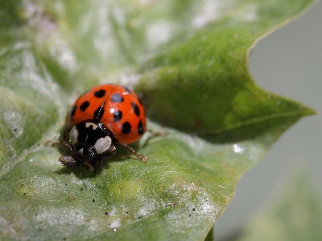 Asian lady bug remova