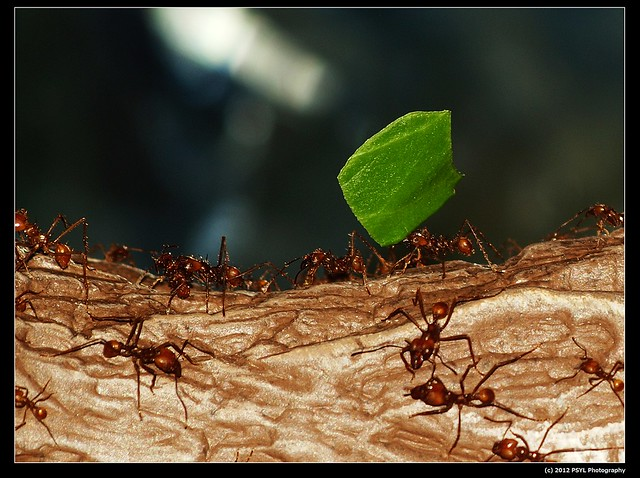 Leaf cutter ants (Atta cephalotes)