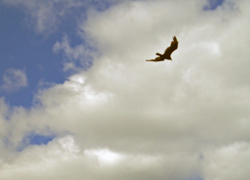 1723 turkey buzzard