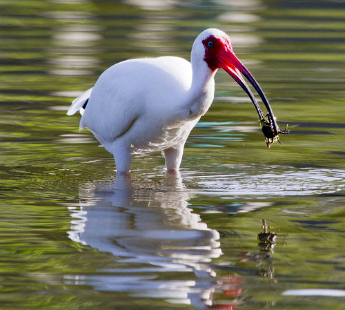 White Ibis at Lunch by Ricky L. Jones Photography