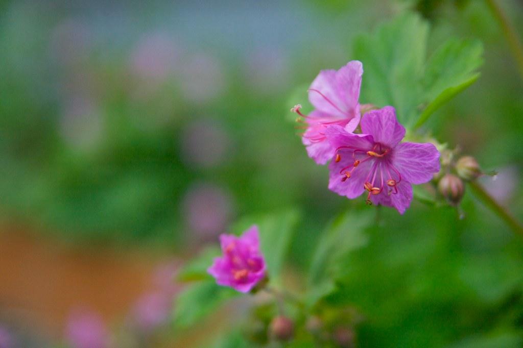 geranium macrorrhizum  1443