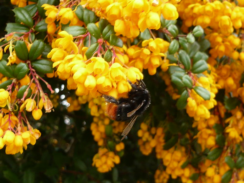 Berberis and bee
