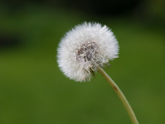 Dandelion Clock - Photo of Fougerolles-du-Plessis