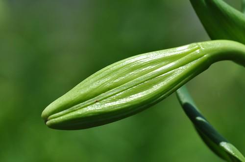 百合花花苞