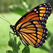 Viceroy Butterfly by James D Rucker