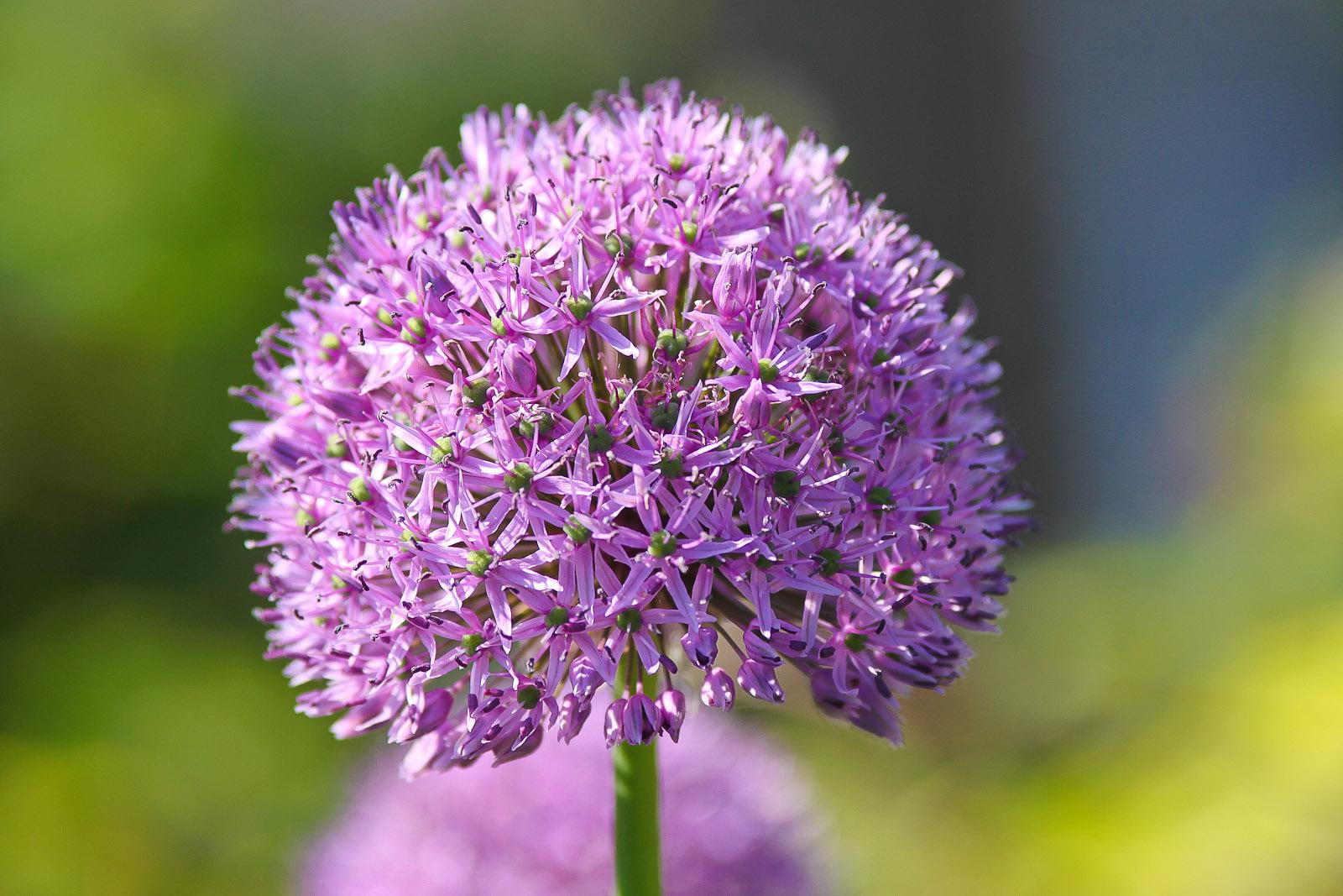 Purple Allium ion Blooming Flower in Ireland