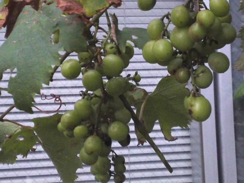 誰の葡萄?