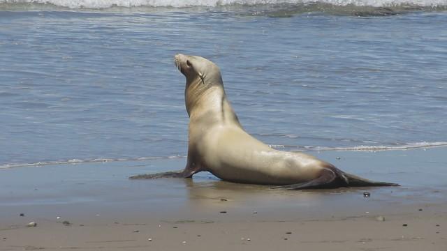 MVI_7165 california sea lion 20s east haskell beach