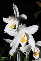 flower, yellow, plant, macro photography, laelia, flora, close-up,