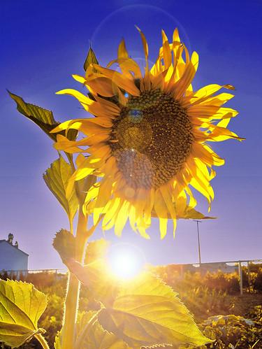 Girasol(Sunflower)
