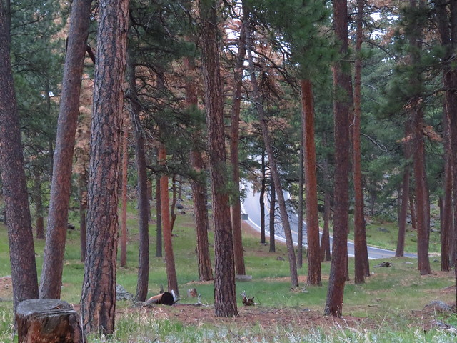 Road thru the Forest in the Blackhills