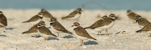 Semipalmated Plover-Nonbreeding