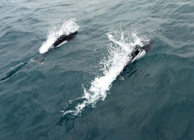 Dalls porpoise