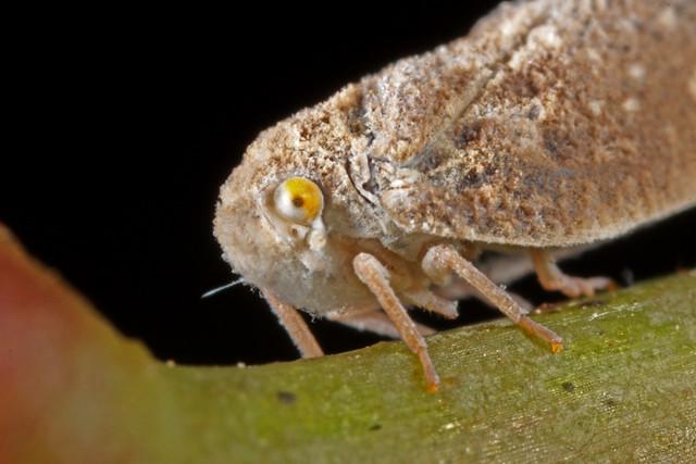 Floury Mothbug