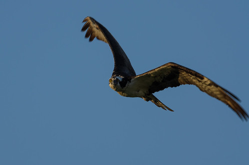 Osprey_3845.jpg