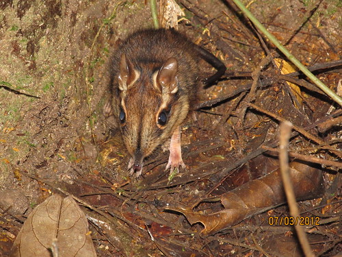 Pterdromus tetradactyla, the four toed elephant shrew