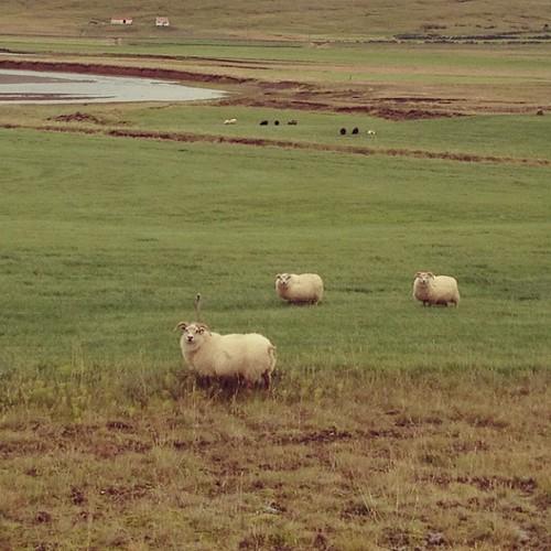 Tres ovejitas #tripiniceland #iceland #islandia