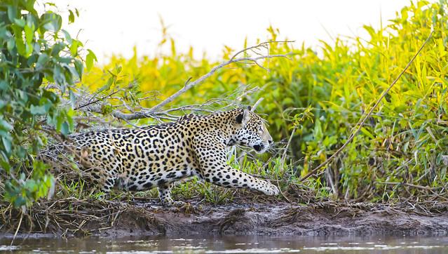 Jaguar en el Gran Pantanal, Matto Grosso, Brasil