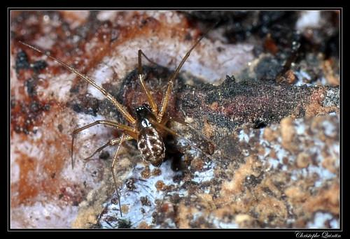 Tenuiphantes tenuis ?