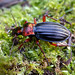 Golden Ground Beetle (Carabus auronitens auronitens) individual form '' letacqi '' by berniedup