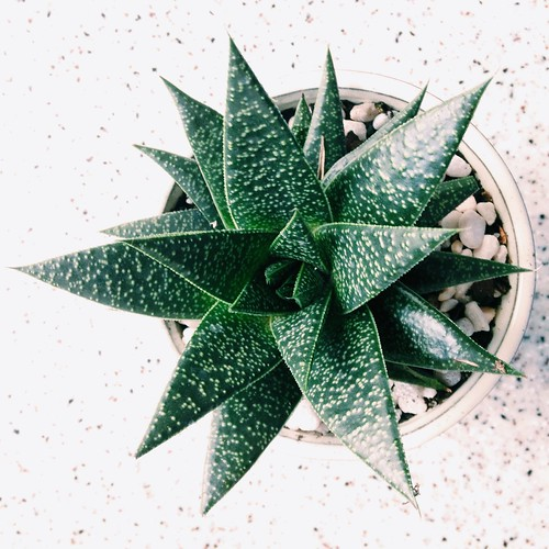 New houseplants (haworthia)
