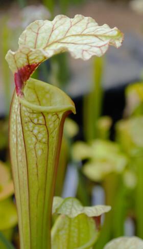 Photo Plantes--carnivors ( Sarracenia ) 13983349146_84c409e0ab