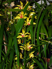 Cymbidium lowianum 'James Drysdale' species orchid