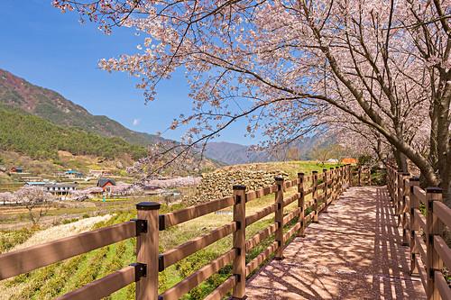 landscapes path sakura southkorea