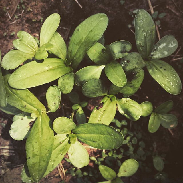 Baby Zinnias #zinnias #seedlings #patiogarden #garden