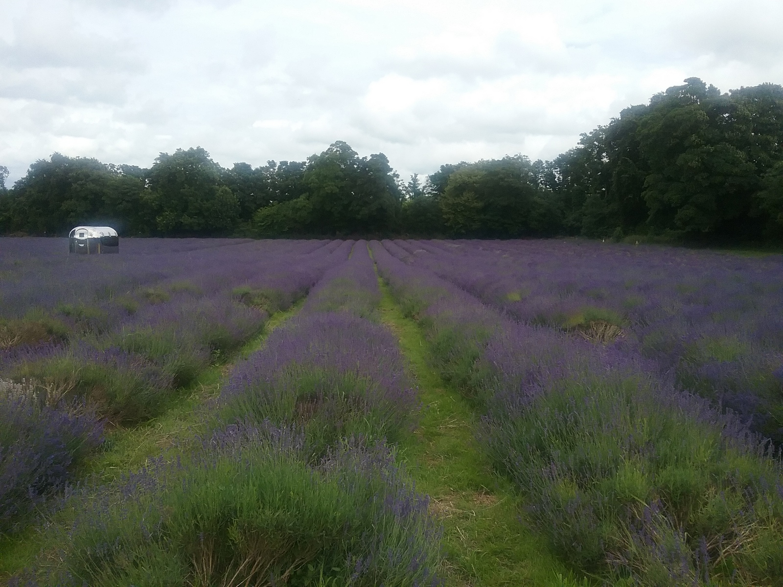 20160630_160920 Public footpath across Mayfield Farm lavender fields