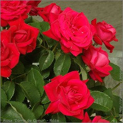 Rosa 'Dame de Coeur' - Róża 'Dame de Coeur'