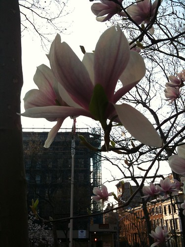 Saucer magnolia blossoms, New York City