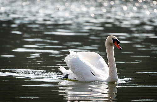 Canadian swan. [Explored March 29, 2012] by kaybee07