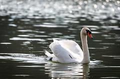 [フリー画像素材] 動物 2, 白鳥・ハクチョウ ID:201204060400