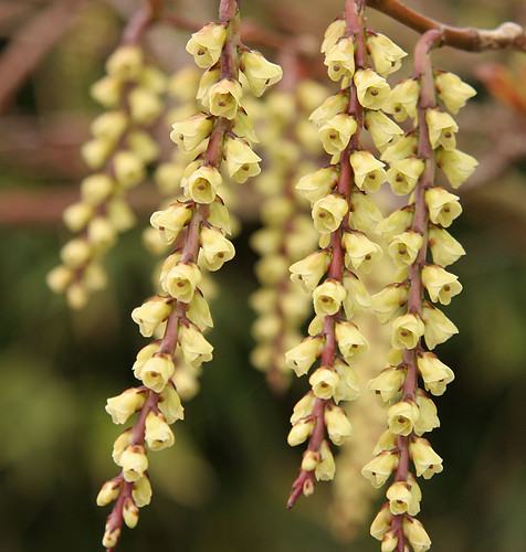 Stachyurus praecox  - Spring at the Ballard Locks - Seattle