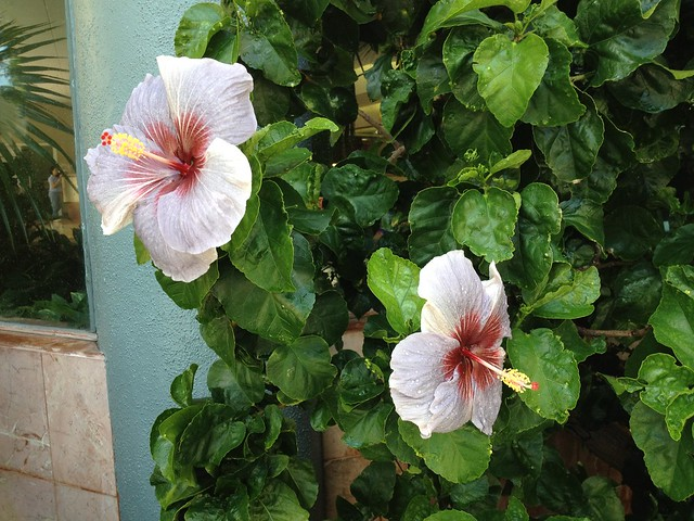 Hibiscus propagation by cuttings  Hibiscus rosasinensis