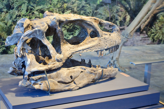 Allosaurus skull, Dinosaur National Monument