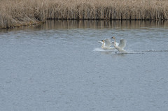 Swans Landing-4945.jpg by Mully410 * Images