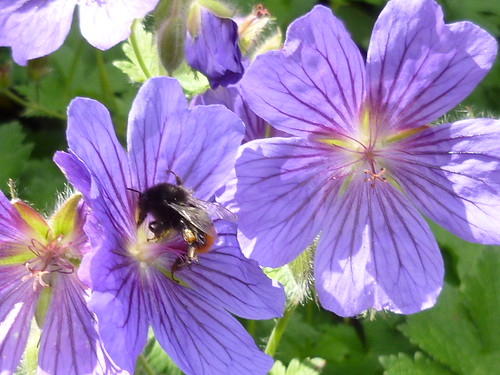 Geranium and bee!