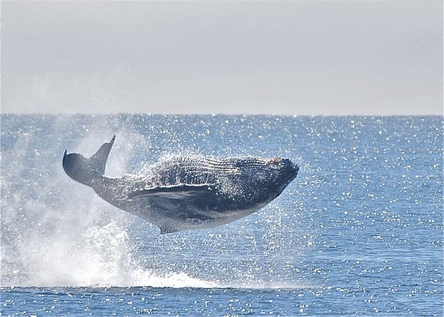 Breaching Humpback, Alaska