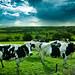 Cow Crowd [Explore # 13] by Photography D&D