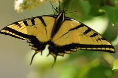 Swallowtail 01