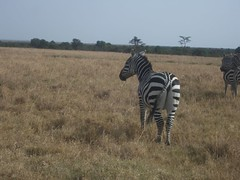 Zebra - Sweetwaters