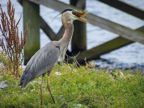 fish nature sushi wildlife northcarolina meal greatblueheron foodchain pamlicoriver northcarolinawildlife
