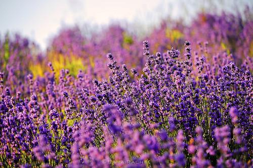 無料写真素材, 花・植物, ラベンダー
