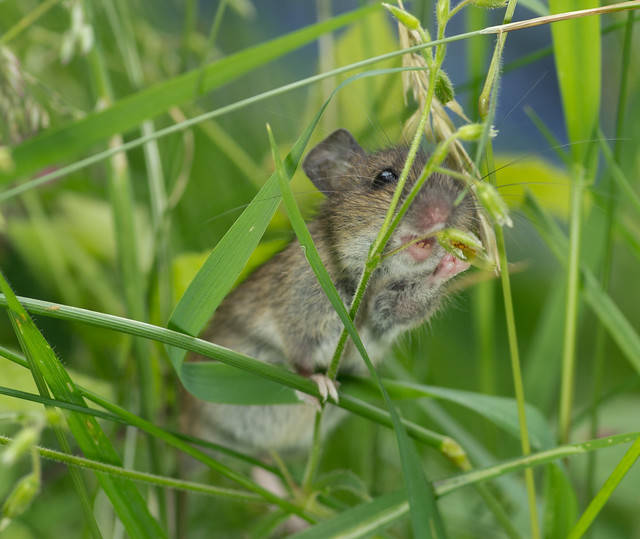 wood mouse eating grass