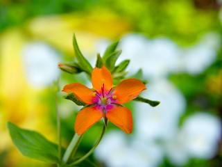 Bokeh Orange Flower