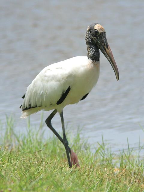 Wood Stork 3-20120725