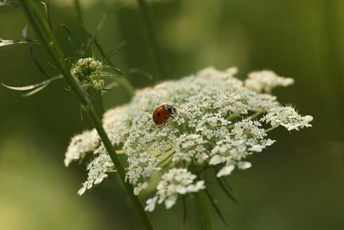 Siebenpunkt-Marienkäfer (Coccinella septempunctata) auf Wilder Möhre (Daucus carota) by olga_rashida