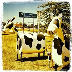 July 29/365 #Moo if you're in #Iowa! #art #maidrite  #lamoni #instamood #cows